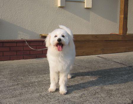 マルポメ ミックス犬